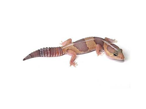 Female Albino Striped African Fat Tail Gecko