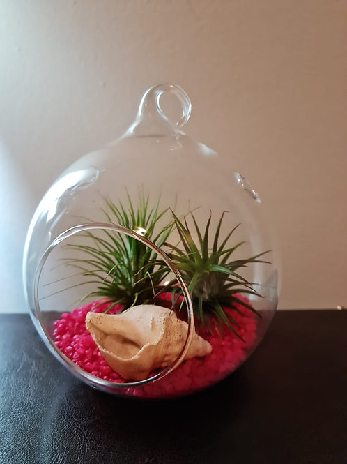 (P9) T. ionantha ionantha & rubra in Glass dome. (Read description for full kit)