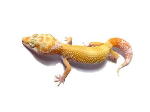 Female Hypo Albino Carrot Tail