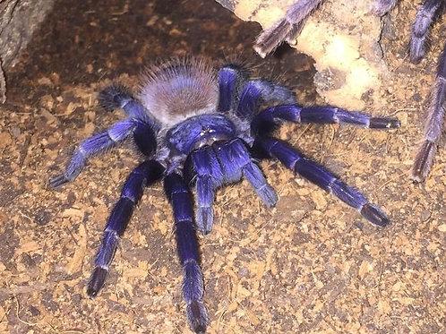 Pterinopelma sazimai (Brazilian Iridescent Blue) 3cm