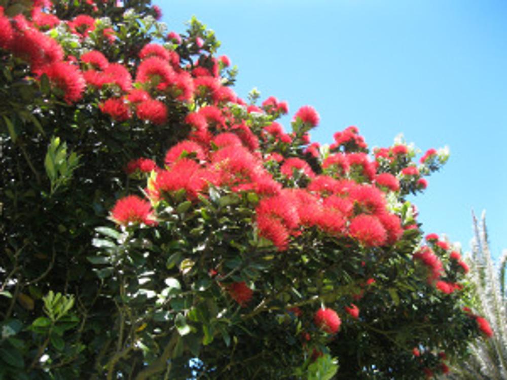Pohutkawa flowers close up