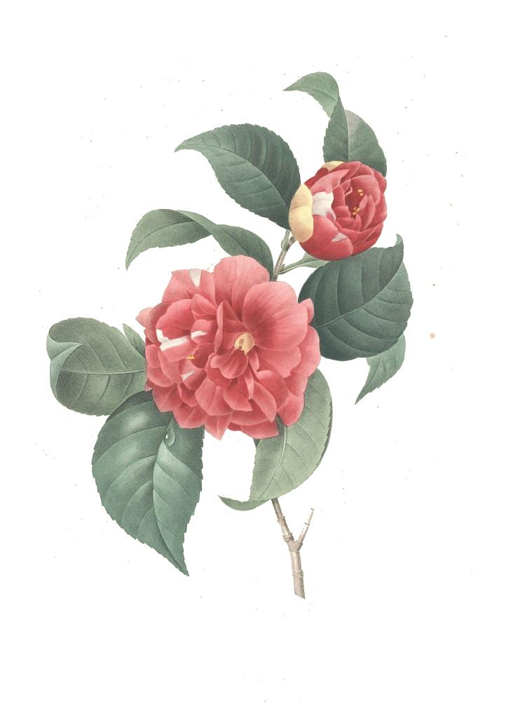 gravure-fleur-fantastique-gravures-de-fl