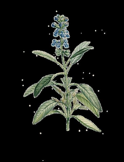 gravures_botanique_Rousseau_-_153_salvia