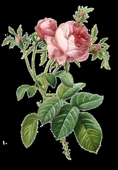 Redoute_-_Rosa_centifolia_foliacea.png