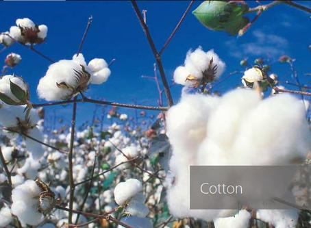 Cotton Shirts & Cotton Facts