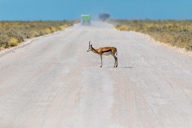 אנטילופה עומדת בכביש עפר על רקע משאית מתרחקת