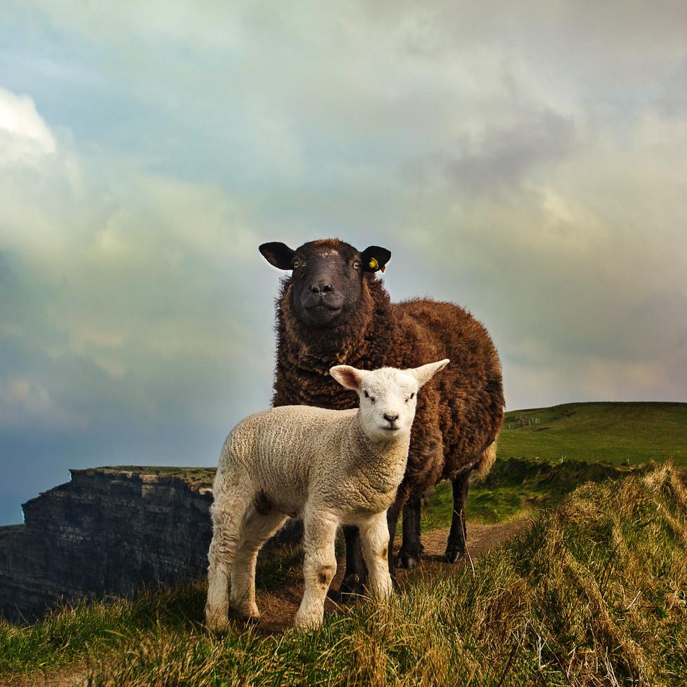 Sheltered lamb