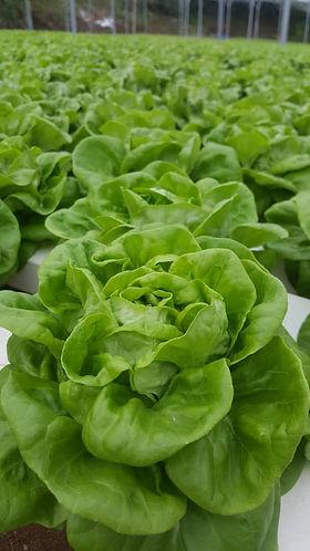Butterhead Lettuce.jpeg