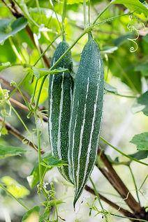 green snake gourd.jpg