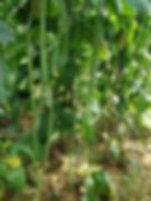 WH388 Selected Black SeedYard Long Bean.