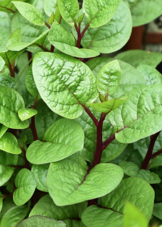 Red Ceylon Spinach.png
