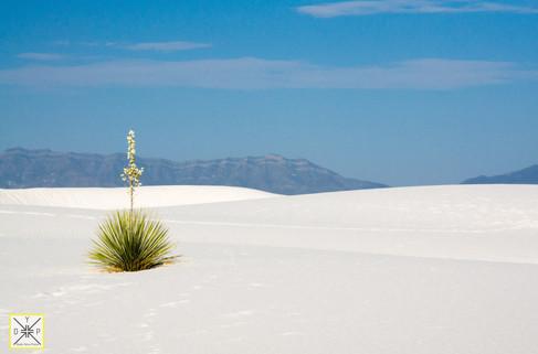 A Desert Flower