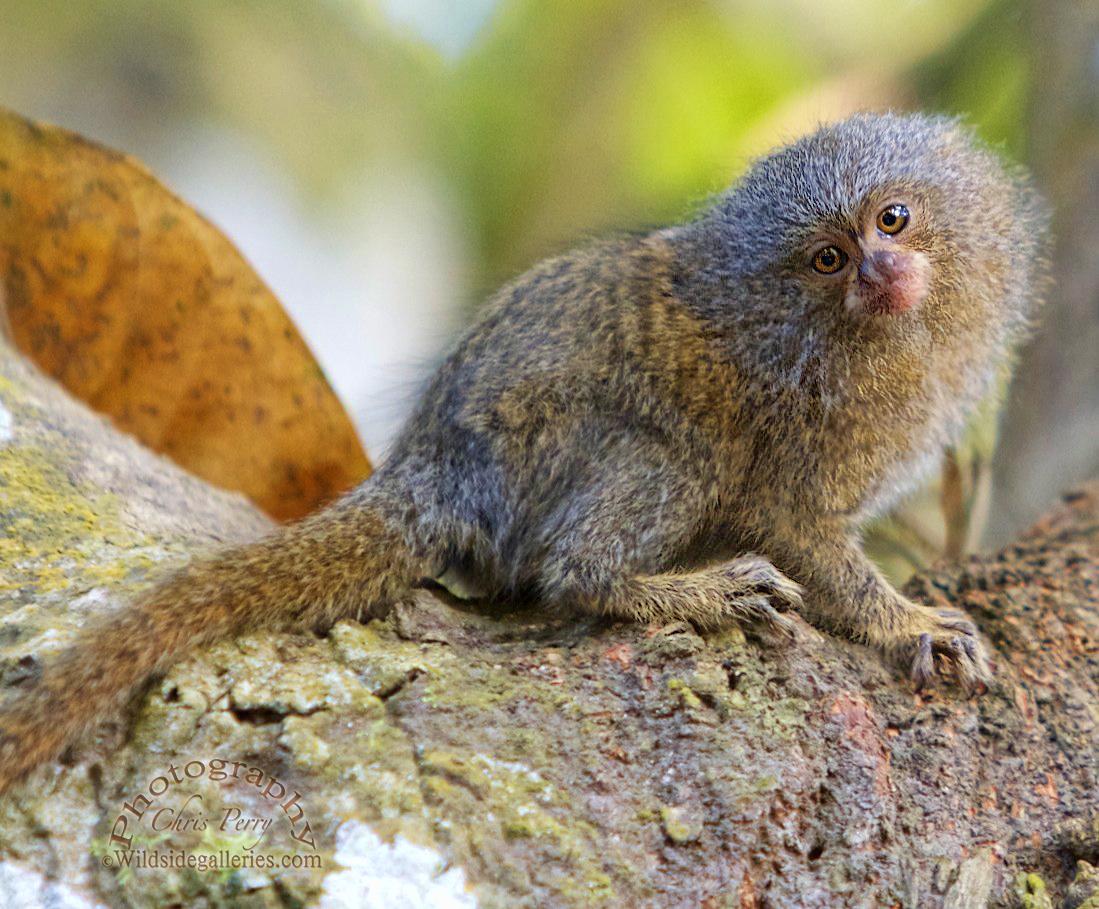 Pygmy of the Amazon