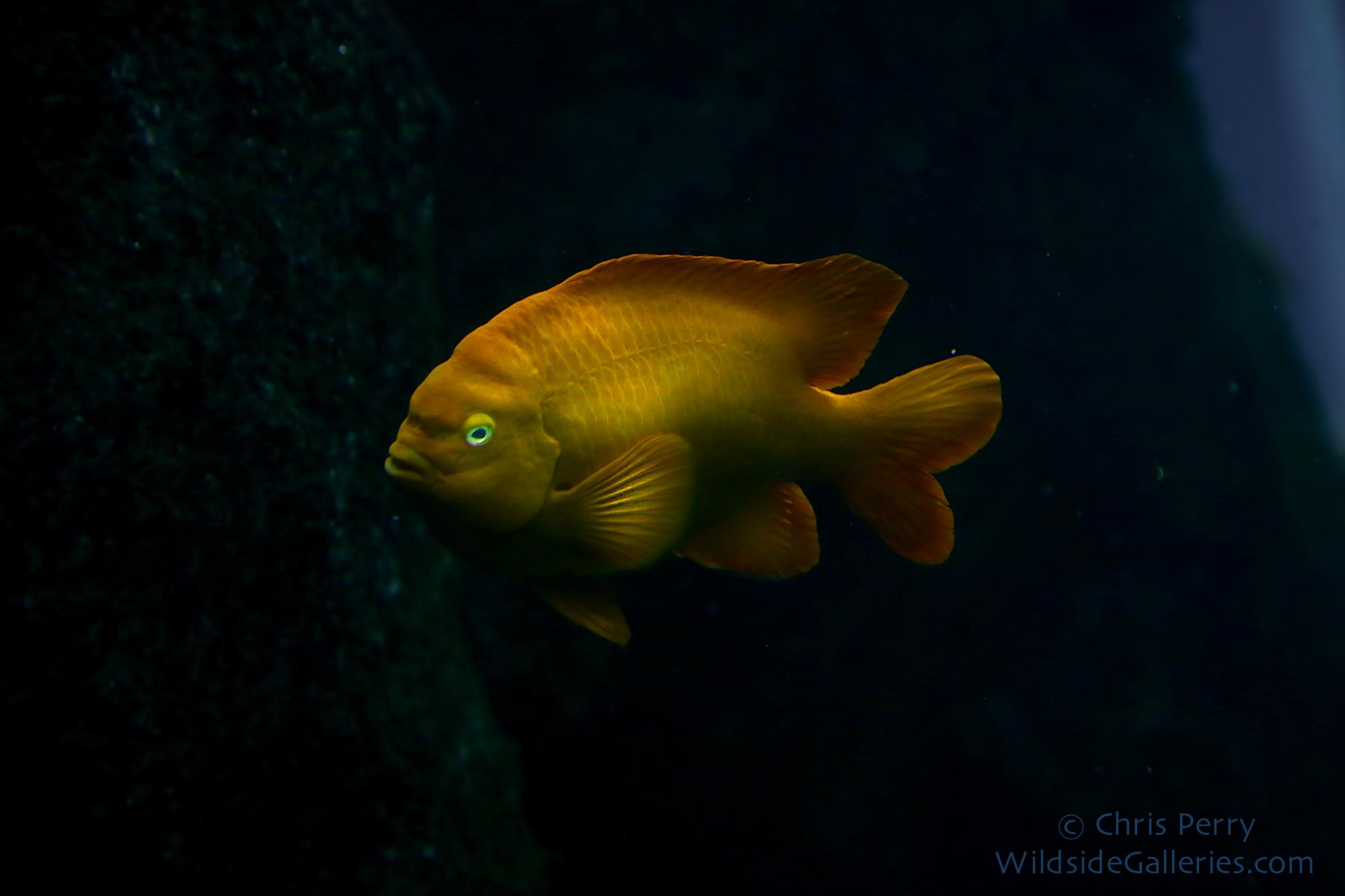 California's State Fish