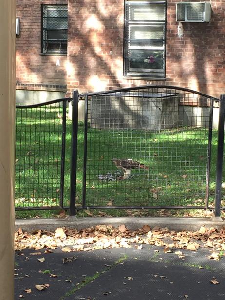近所の公園で鷹発見!🦅