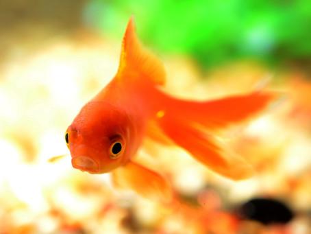 Slim als een goudvis