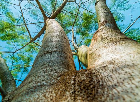 Hoge bomen