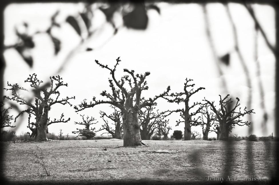 Baobabs, Sénégal