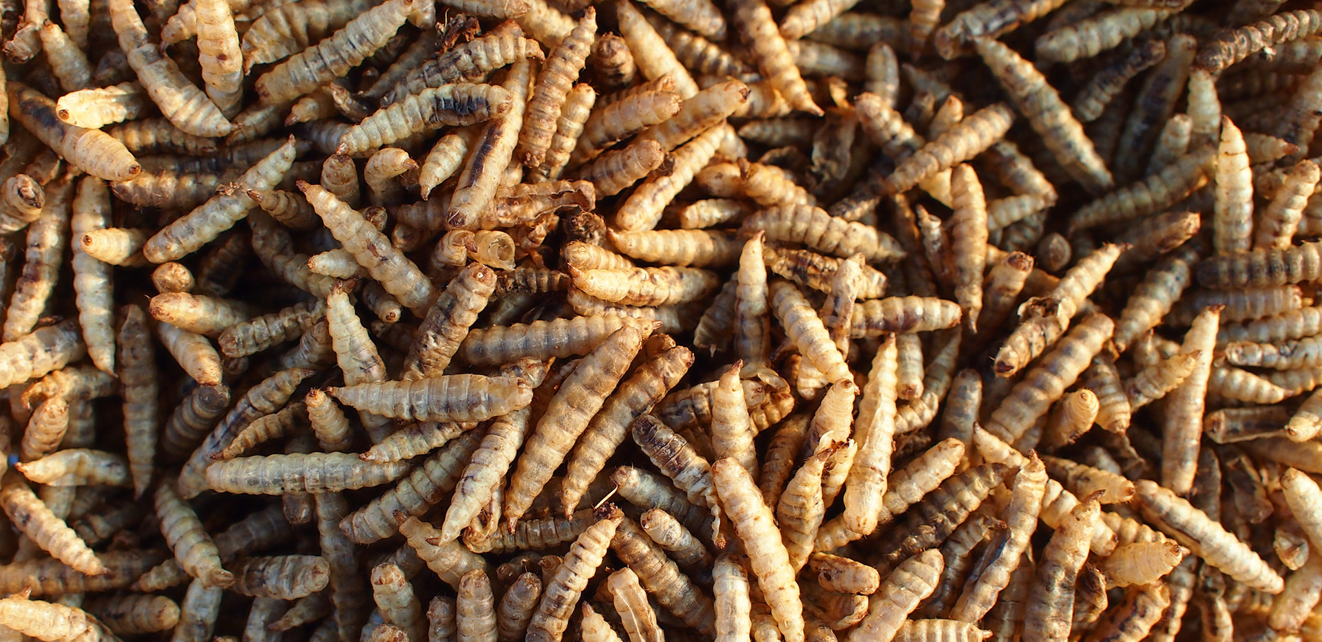 dried larvae.jpg