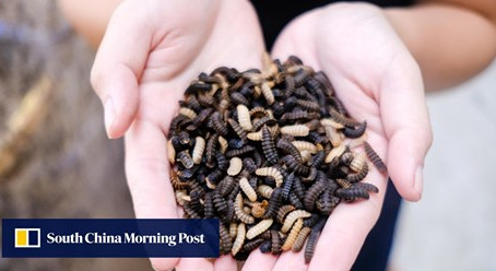 Insectta's Critters are Helping Singapore Save the Planet - South China Morning Post