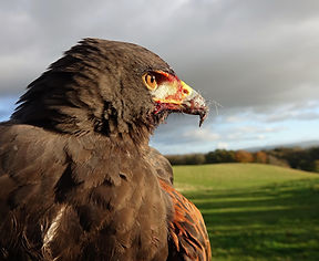 Harris Hawk Falconry.jpg