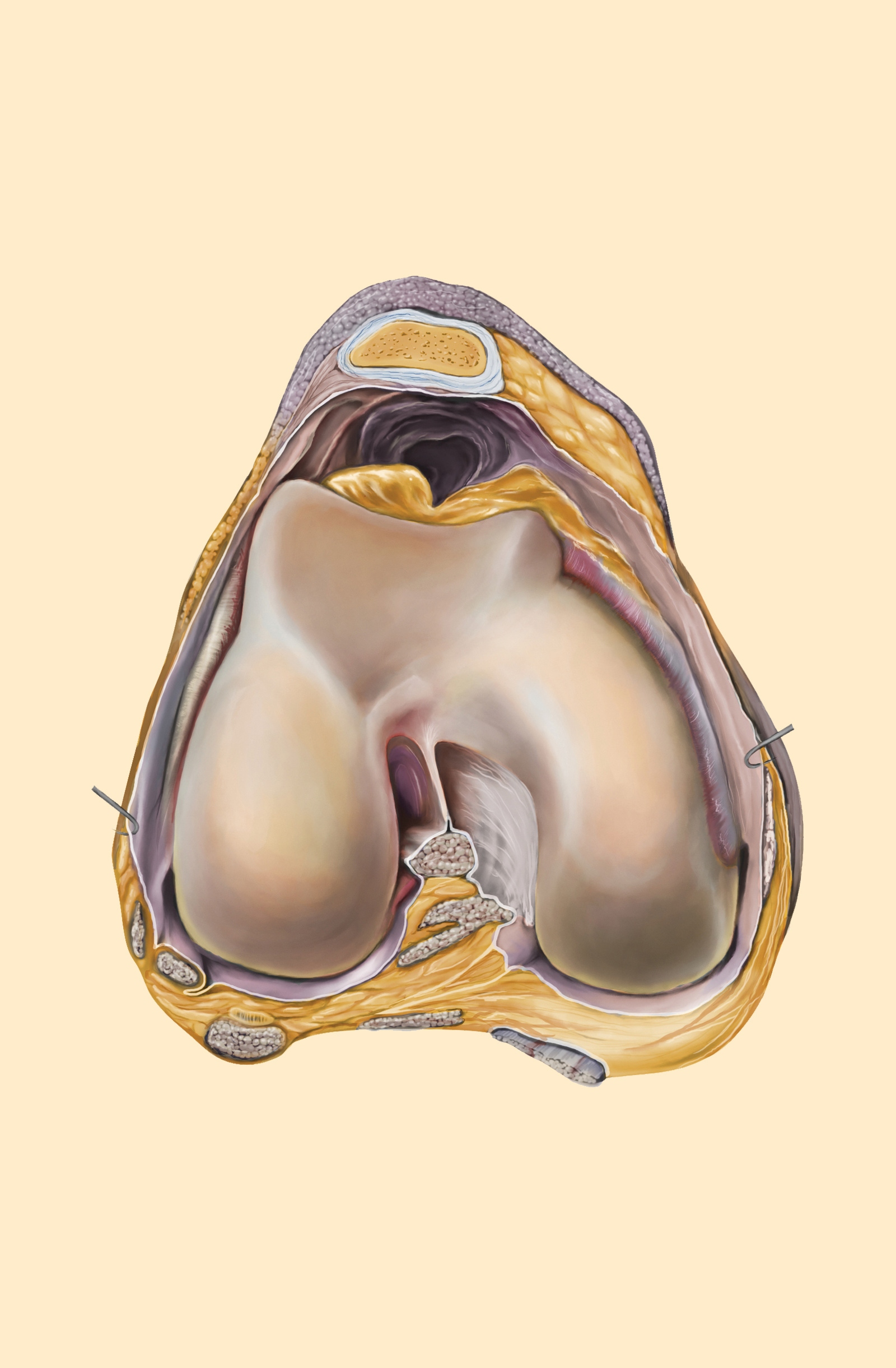 Cross Section of Knee