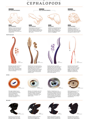 Comparative Functional Anatomy of Cephalopods