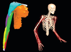 Muscle Modeling