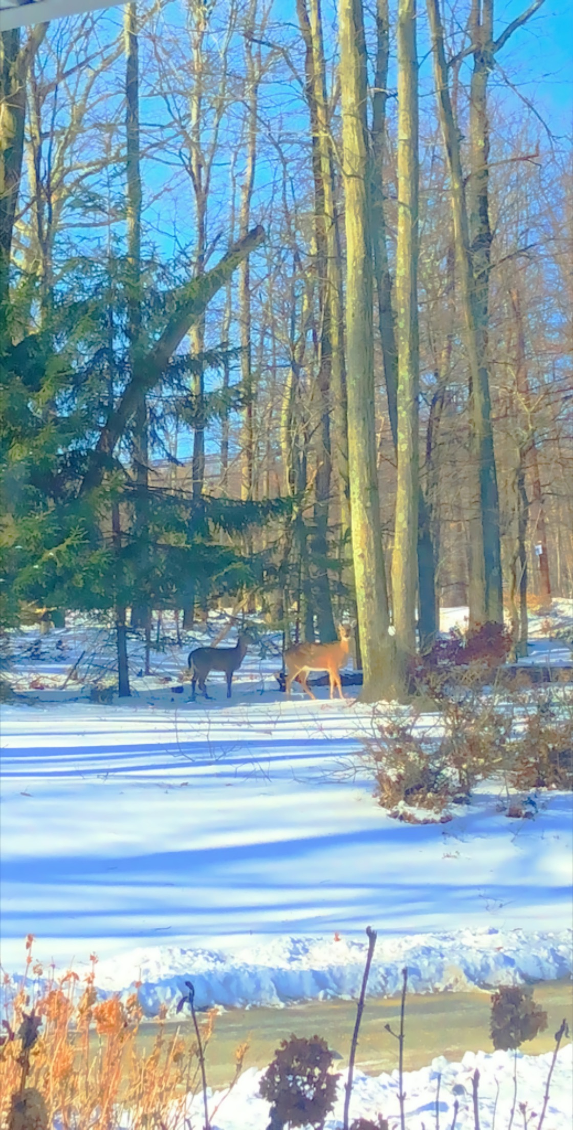 Deer in my Yard