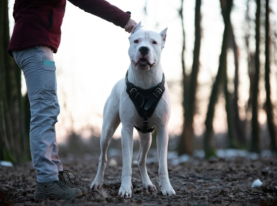 dogo argentino Absolute Power