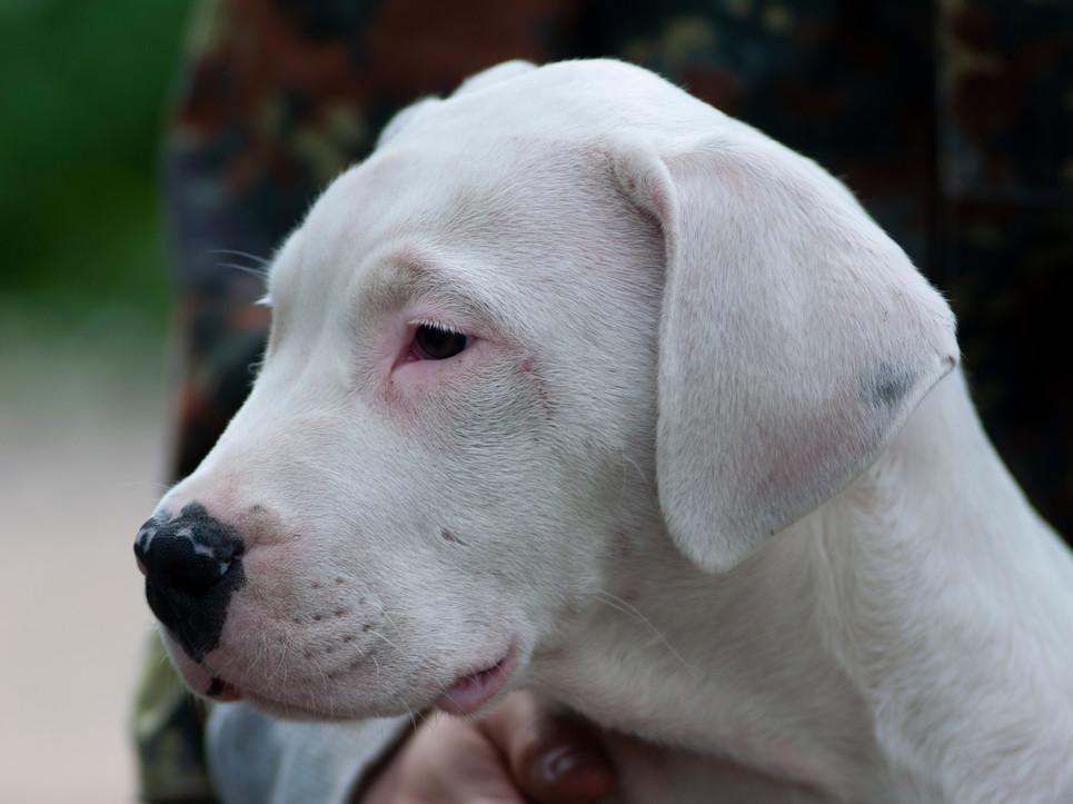 GOLDEN BOY dogo argentino puppy