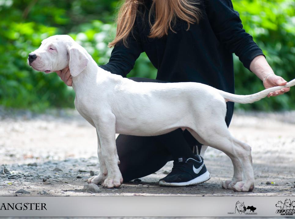 GANGSTER dogo argentino puppy