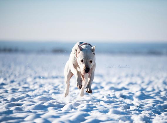 Dogo Argentino in movement Fatum Impi Whita.jpg