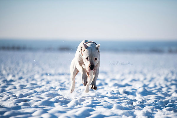 Dogo Argentino in movement Fatum Impi Wh