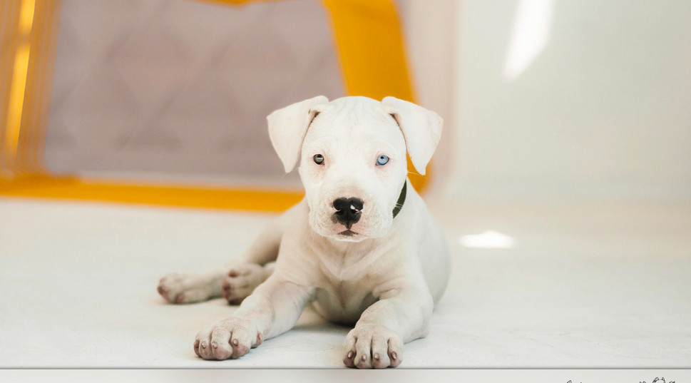 GERSI dogo argentino puppy