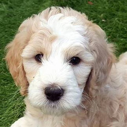 Paisley Puppy