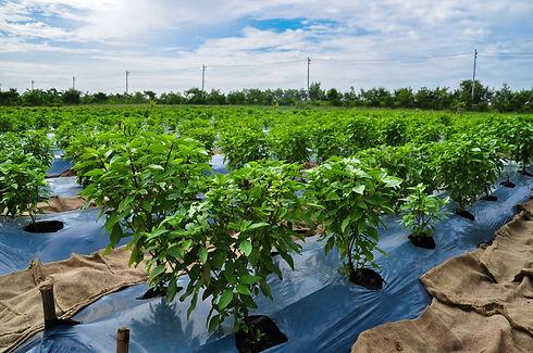 Thai Holy Basil Farm Sutharos Thai