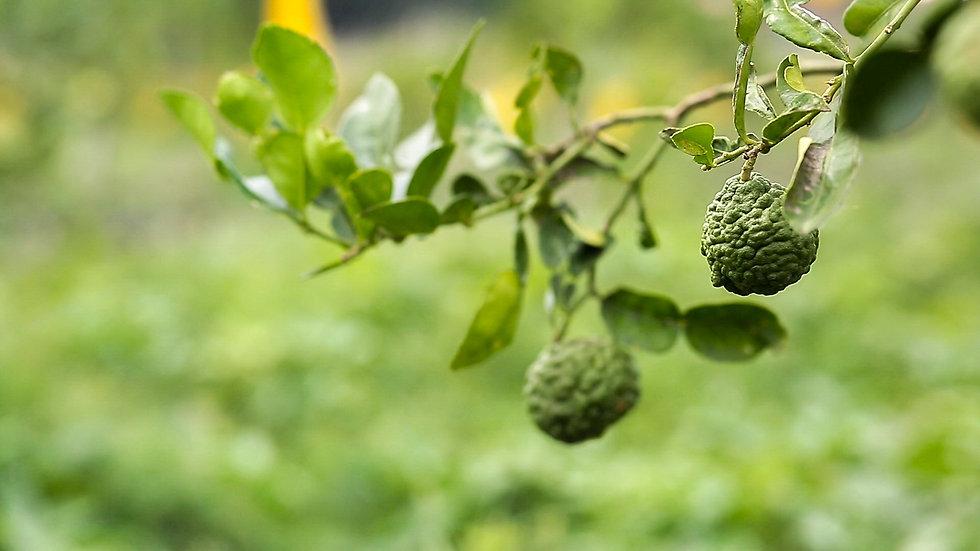 Organic Kaffir Limes