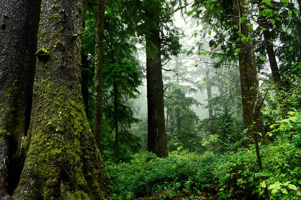 old growth forest.jpg