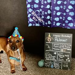 dachshund puppy in a happy home