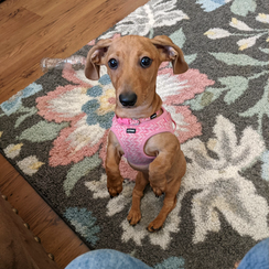 dachshund puppy ready to be cuddled