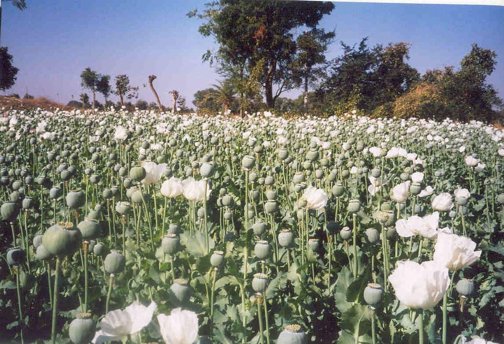 A crop of white poppys