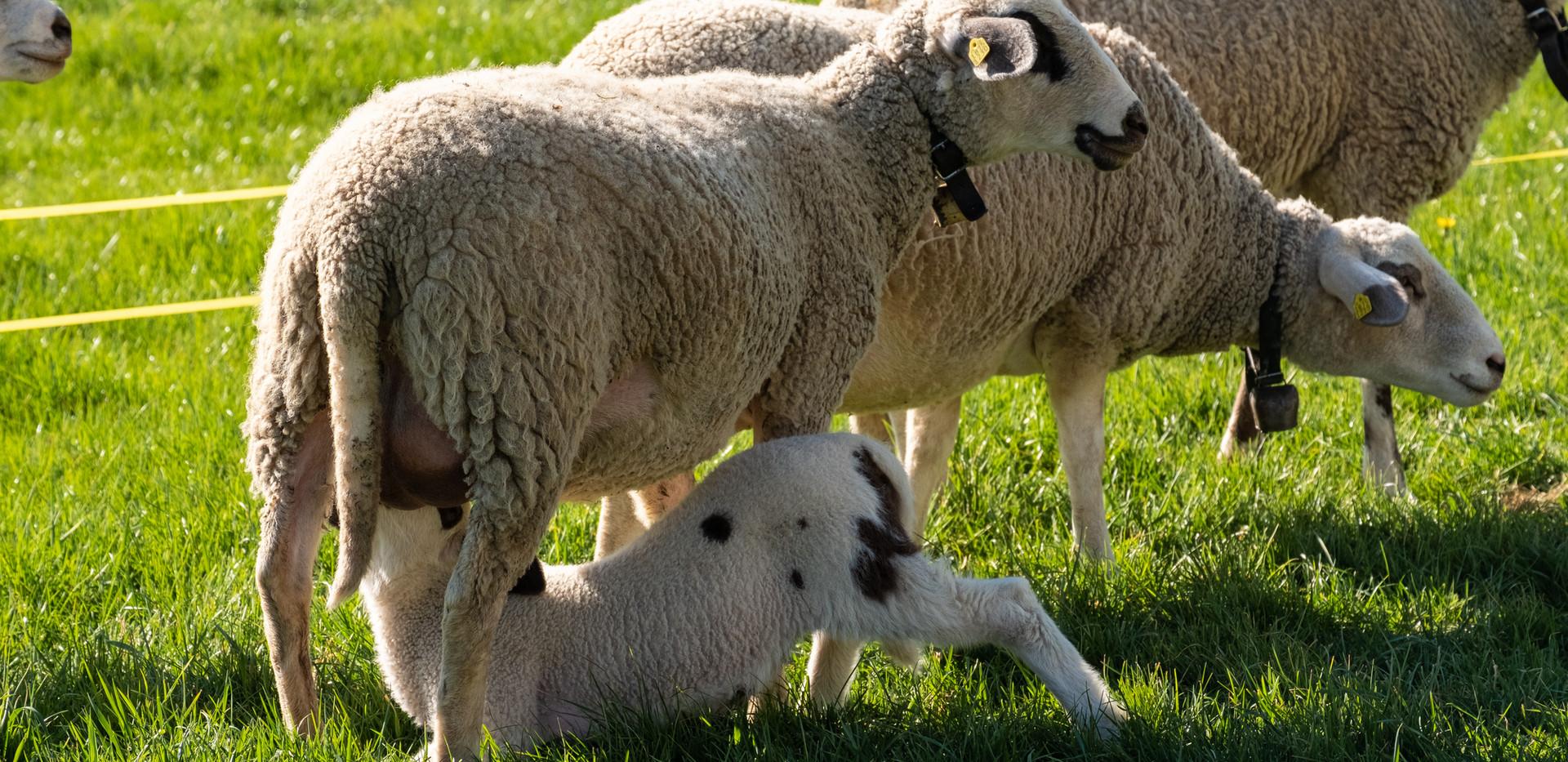 Der Schafnachwuchs an der Milchbar
