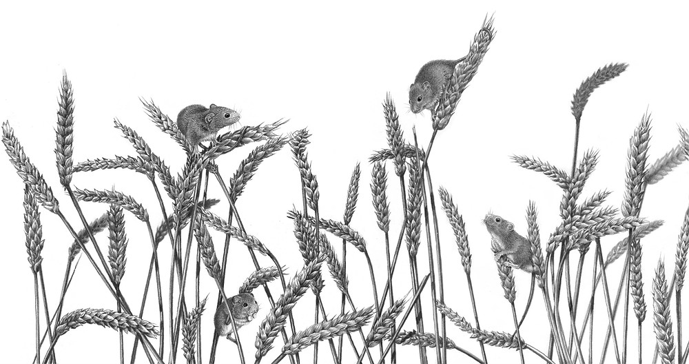 Drawing of Harvest mice climbing Wheat shafts