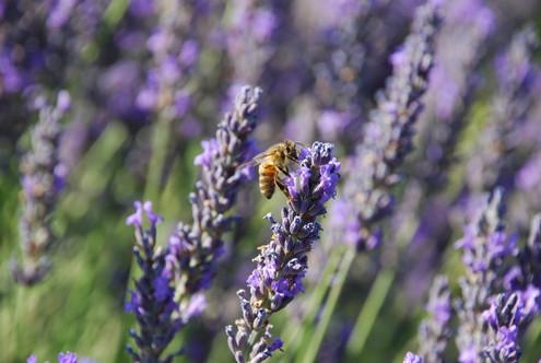 Honeybee on Lavender.jpg
