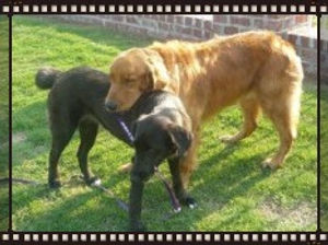 Golden Labrador with it's head on a black Labrador, as they stand in a garden