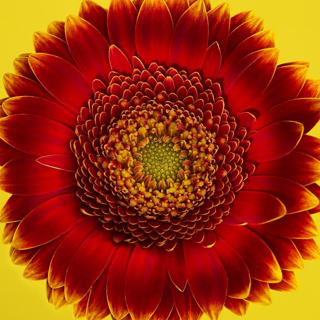 Fire Flowerfinal