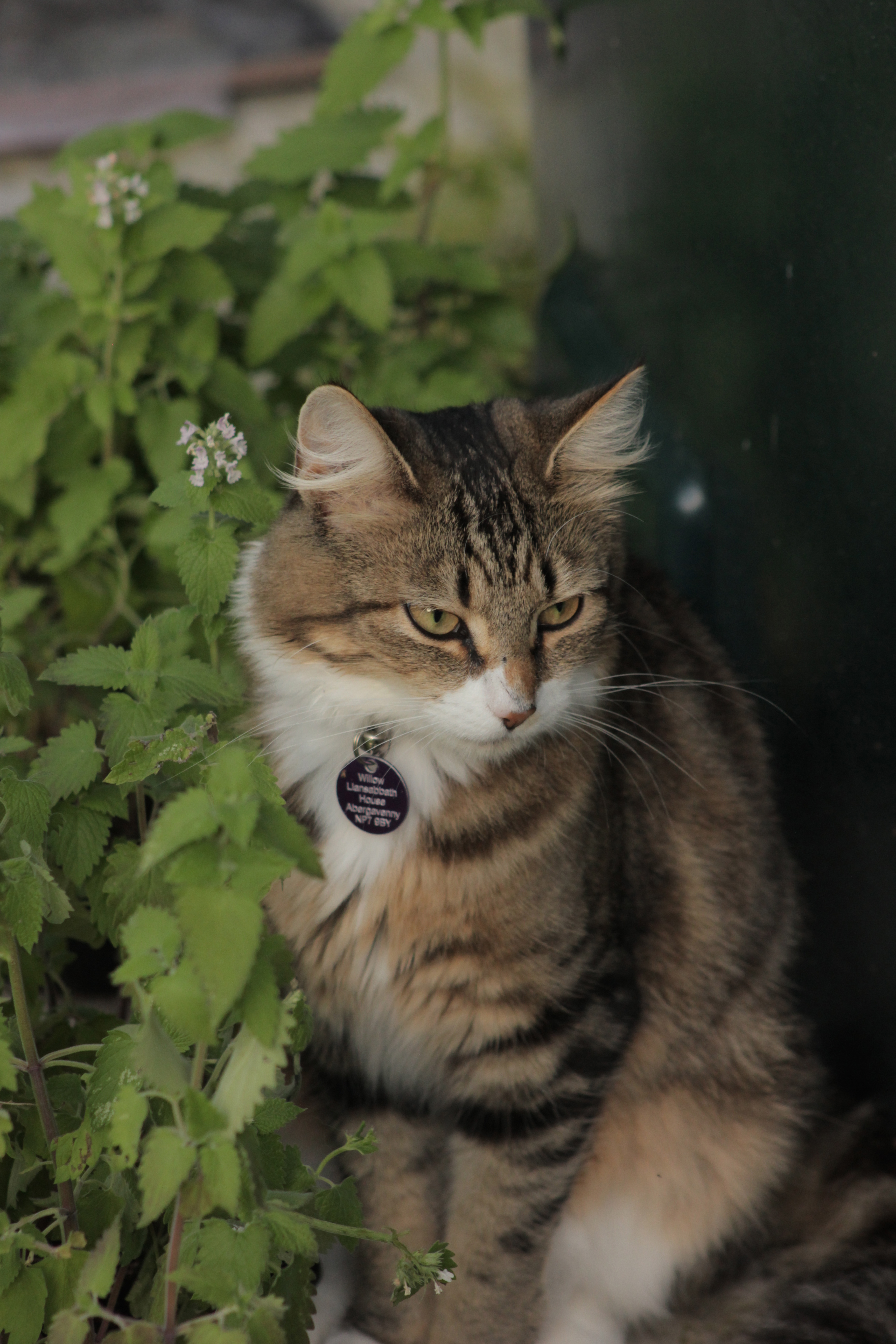 Willow at llansabbath