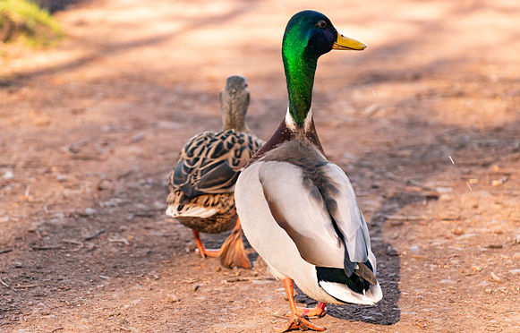 Calendar - Ducks.jpg