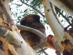 Koala_edited